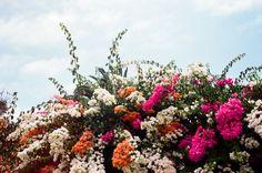 bougainvillea in leucadia Beautiful Flower Arrangements, Wild Flowers, Beautiful Flowers, Bloom Where You Are Planted, Bougainvillea, Wild Hearts, Something Beautiful, Horticulture, Planting Flowers