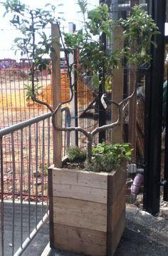 Espalier fruit tree in planter from reclaimed scaffolding boards Skip Garden, London N1