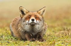 123zero:A'aise. photo by thrumyeye (Holland), animal, fox uploaded by Big Bird