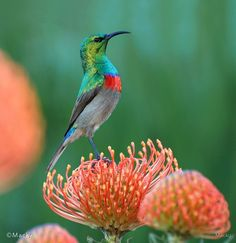 A proud sunbird male perched on a pincushion (Protea genus). I photographed this wonder of nature on the slopes of Table Mountain, Cape Town, South Africa. Your South Africa Photos -- National Geographic Birds 2, Love Birds, Beautiful Birds, Pet Birds, Animals Beautiful, South African Birds, Bird Pictures, Africa Travel, Bird Watching