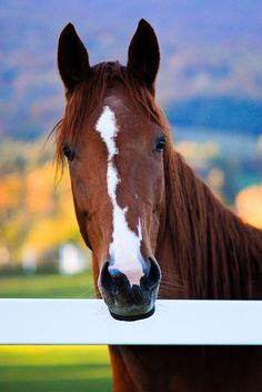For All the Horse Lovers Out There - Animals & Pets - Most Beautiful Animals, Beautiful Horses, Beautiful Creatures, Animals And Pets, Cute Animals, Horse Markings, Horse Face, Chestnut Horse, Cute Horses