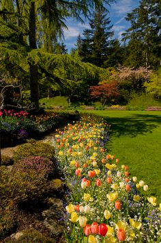 Mixed spring border of tulips and forget me nots, with Japanese maples and evergreens, May, Butchart Gardens by Georgianna Lane