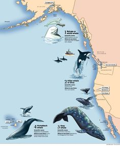 Chart of where whales live and migrate in North America. Orcas, Sea World, Humpback Whale, Whale Sharks, Marine Biology, Ocean Creatures, Killer Whales, Whale Watching, Ocean Life