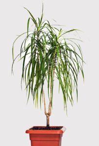 Chlorophytum phalang re plante araign e plantes for Savoir jardiner