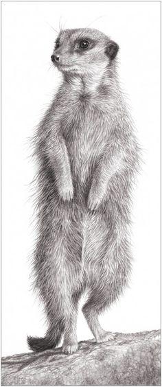 Meerkat by Julie Rhodes - pencil