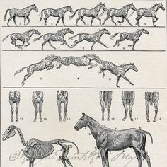 Antique Print Horse Anatomy Muscles by AntiquePrintsAndMaps, $10.00