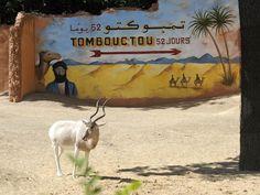 Ces addax vivent au Maroc et en Tunisie à l'air libre, pour une réintroduction graduelle dans un mode de vie sauvage.
