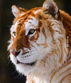 Golden Tigers. There are fewer than 30 of these rare tigers in the world.