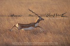 Chase the Blackbuck