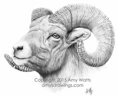 drawing painting charcoal graphite wildlife bighorn sheep ram