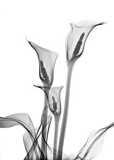 X-Ray of Calla Lillies by Allan Gill