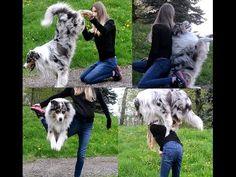 Training a Hyper Dog : Tips and Tricks for Traning an Australian Shepherd - YouTube