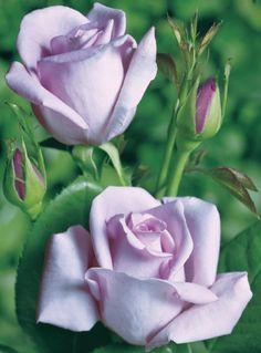 Mainzer Fastnacht ® Rijkbloeiende paarse geurroos met edele mooi gevulde, lichtend donker lavendel kleurige bloemen met een weldadige geur. Mooi bebladerde, gezonde winterharde roos.