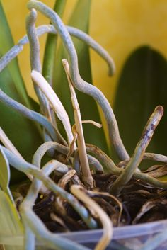 If your orchids are developing crazylooking tendrils that look a little like tentacles, don't worry. Your orchid is growing roots, specifically aerial roots. Read this article for more information about what to do with orchid roots. Indoor Orchids, Orchids Garden, Orchid Plants, Air Plants, Garden Plants, Indoor Plants, Phalaenopsis Orchid, Indoor Garden, Potted Plants