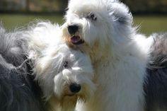 Old English Sheepdogs -- cuddlepuppies.  :-)