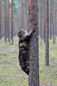 maine coon cats photos | maine coon cat Berta XXXL*RUS | Flickr