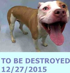 SAFE 12-30-2015 --- Manhattan Center – P  My name is BUTTERS. My Animal ID # is A1060984. I am a neutered male tan and white staffordshire mix. The shelter thinks I am about 2 YEARS  I came in the shelter as a STRAY on 12/19/2015 from NY 10030, owner surrender reason stated was STRAY. http://nycdogs.urgentpodr.org/butters-a1060984/