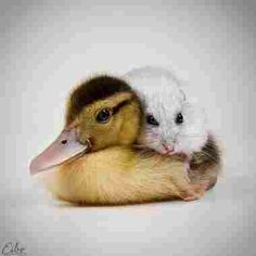 Duckling with hammy ... Friends.