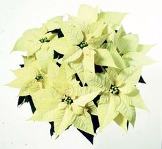 Idea for decorations and flowers for winter wedding. White Pointsettias.