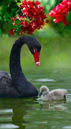 Gorgeous beautiful swan photo of birds. Beautiful Swan, Beautiful Birds, Animals Beautiful, Cute Baby Animals, Animals And Pets, Funny Animals, Pretty Birds, Love Birds, Photo Animaliere