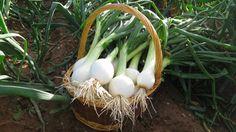 Resultado de imagen de cebollas planta