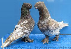 Oriental Frill Pigeons