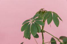 Trenger du noe stabilt i livet, så skaffer du deg denne planten her. Men til tross for sitt vennlige vesen ...