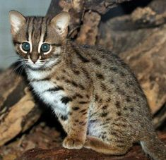 First rusty-spotted cats in 168 years at Betlin Zoo. Aw!