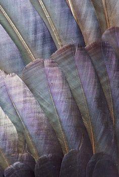 gorgeous iridescent plumage