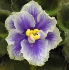 African Violet Plant Austen's Love Sport | eBay