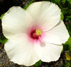 Hibiscus apple blossom A medium Hibiscus that is perfect in giving your garden that tropical feel with its dark green glossy leaves and very large pink long lasting flowers . Full sun. H1.5m