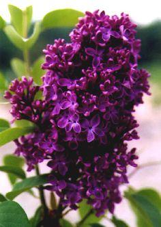 Lilac: deep purple