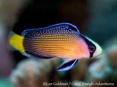 Splendid Dottyback - by Lee Goldman Saltwater Aquarium Fish, Saltwater Tank, Reef Aquarium, Underwater Sea, Underwater Creatures, Ocean Creatures, Tropical Freshwater Fish, Freshwater Aquarium, Tropical Fish