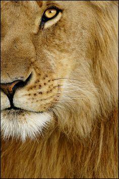panthera leo by rogersmithpix, via Flickr