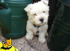 westie puppies are sooo cute!