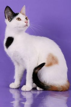 The Aphrodite Giant cat breed is one of two naturally occurring breeds from Cyprus.