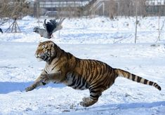 As many of you know, Lon Ball continues to push his proposal, asking the BLM to sell thousands of wild horses to be used as prey for Siberian tigers in Russia. SOURCE:  Yahoo News Damien Sharkov, N…