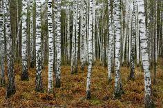 birch-tree-wallpaper