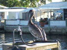 Brown Pelican at Matlacha, Pine Island, SW Florida. Photo @ao Fusiarski
