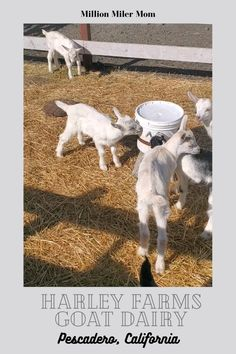 Everything you need to know about planning a trip to Harley Farms Goat Dairy in Pescadero, California including tips on booking tours. #northerncalifornia #california #harleyfarmsgoatdairy #goatfarm #sconesbythepond #picnicatthefarm #farmpicnic #scones #goats #america #daycations #daytrip #familyouting #picnic @harleyfarms Visit California, California Travel, Northern California, Usa Places To Visit, Visit Usa, Travel With Kids, Family Travel, Travel Guides, Travel Tips