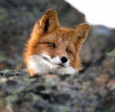 Dapper fox knows he's dapper.