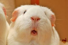 The Guinea Pig Daily: Lily