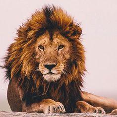"""Résultat de recherche d'images pour """"photos de lion"""""""