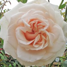 'Penny Lane' Climbing Rose 3L ordered this