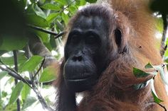 First case of lethal female aggression seen in orangutans. A female orangutan was attacked and killed by another female and a male – the first time lethal aggression has been seen between females of the species.  Female orangutans are normally solitary, and very rarely engage in fights. It's also unusual for females and males to form coalitions. Aggression between orangutans may increase due to pressures from habitat destruction.