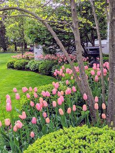 Tulip Update & Winding Down - Modern Planting Tulips, Tulips Garden, Garden Bulbs, Shade Garden, Rose Garden Design, Garden Cottage, Front Yard Landscaping, Landscaping With Roses, Dream Garden