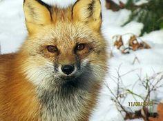 Michigan fox