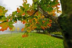 Maple Tree Branch With Changing Leaves On Foggy Autumn Day Stock Photo, Picture And Royalty Free Image. Autumn Park, Fall, Changing Leaves, Tree Branches, Trees, Maple Tree, Detailed Image, Royalty Free Images, Change
