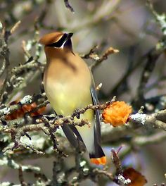 Adult Cedar Waxwing - saw one outside my office window - not sure how I knew what it was since I had never seen one before.  If he were starring in his own cartoon movie, he'd be a bank robber with that awesome mask!
