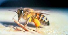 Africanized Bees Continue To Spread In California